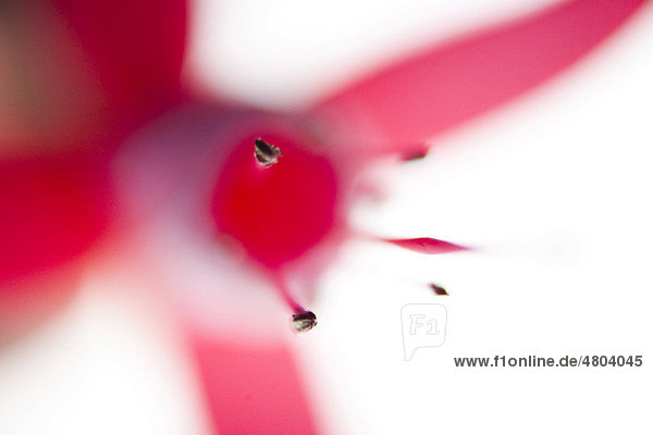 Blüte  Fuchsie (Fuchsia)  abstrakt