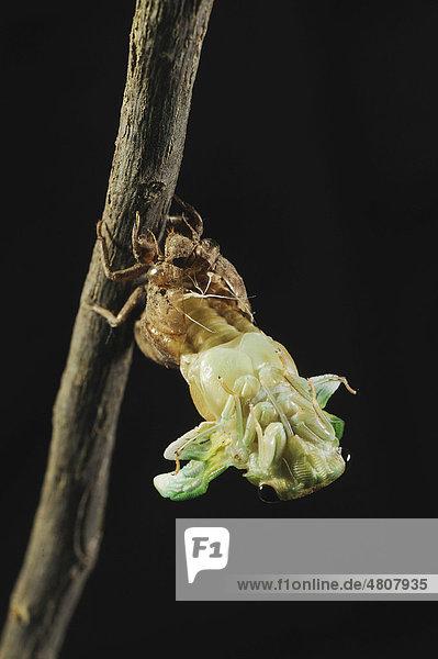 Tibicen-Zikade (Tibicen superba)  beim Schlüpfen aus Nymphenhaut bei Nacht  New Braunfels  San Antonio  Hill Country  Zentral-Texas  USA