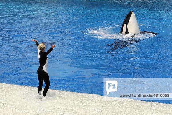 Dressierter Orca (Orcinus orca)  Shamu Stadium  SeaWorld  San Diego  Kalifornien  USA  Nordamerika