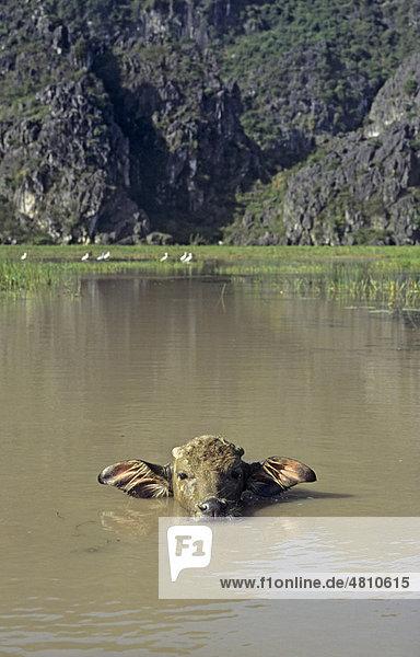 Wasserbüffel (Bubalus bubalus)  Kalb im Wasser  Van Long Nature Reserve  Vietnam  Südostasien