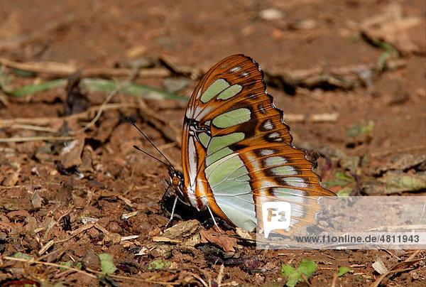 Malachit-Schmetterling (Siproetia stelenes stelenes)  beim Trinken auf feuchtem Boden  Linstead  Jamaika  Karibik