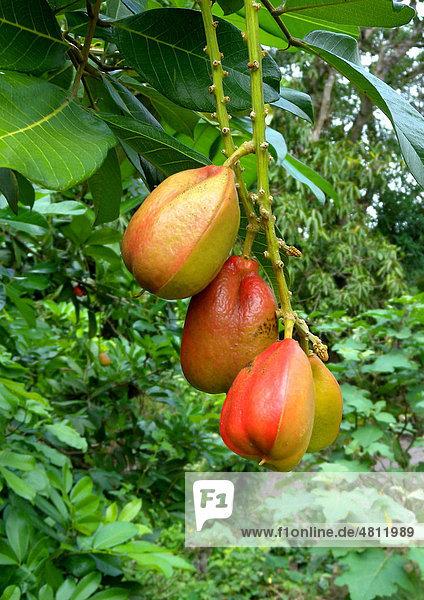 Akee  Ackee  Aki oder Akipflaume (Blighia sapida)  Früchte am Baum  Jamaika  Karibik