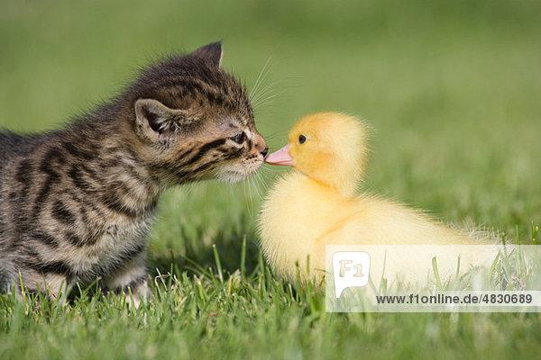 Kätzchen und Entlein auf Gras