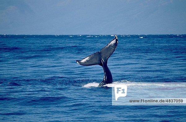 Vereinigte Staaten von Amerika  USA  Buckelwal  Megaptera novaeanglia  Mann  Hintergrund  aufblasen  Schlauchboot  Monterey Bay  Kalifornien