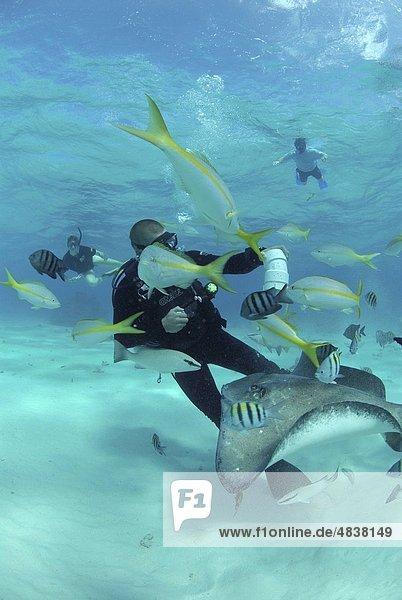 Diver with Sting rays  Stingray City Sandbar  Grand Cayman Island  Cayman Islands  Caribbean