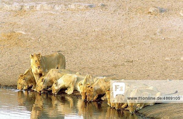 Raubkatze  Löwe  Panthera leo  Stolz  trinken  Namibia  Etoscha Wildpark  Etosha  Löwe - Sternzeichen  Wasserstelle