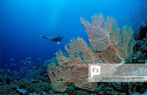 Coral Reef and Diver  Indian Ocean  Maldives Island