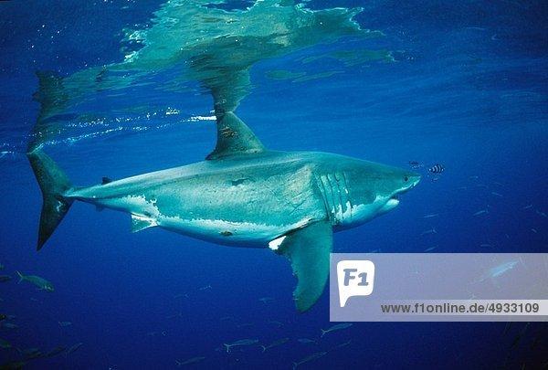 weißer Hai  Carcharodon carcharias  weiße Haie  Weißhai  Mexiko  Pazifischer Ozean  Pazifik  Stiller Ozean  Großer Ozean