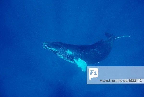 Buckelwal  Megaptera novaeanglia  Französisch-Polynesien  Pazifischer Ozean  Pazifik  Stiller Ozean  Großer Ozean  Tahiti
