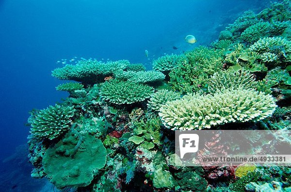 Coral Reef with Branching Corals  Acropora  Indian Ocean  Maldives
