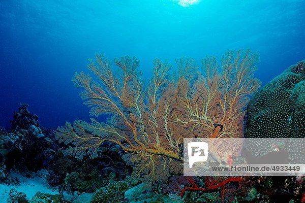 Sea Fan in Coral Reef  Annella spec.  Pacific  Micronesia  Palau