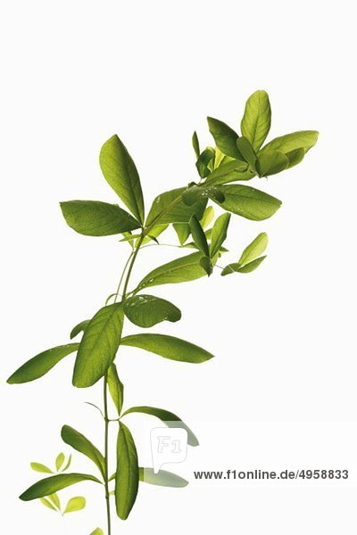 Blätter von Indigofera tinctoria  Nahaufnahme