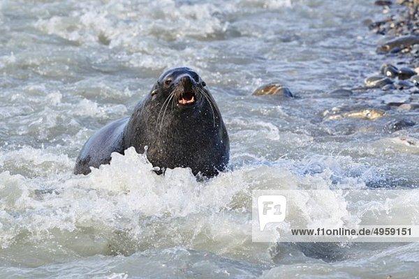 Südatlantik  Großbritannien  Britische Überseegebiete  Südgeorgien  Salisbury Plain  Antarktische Pelzrobben im Wasser