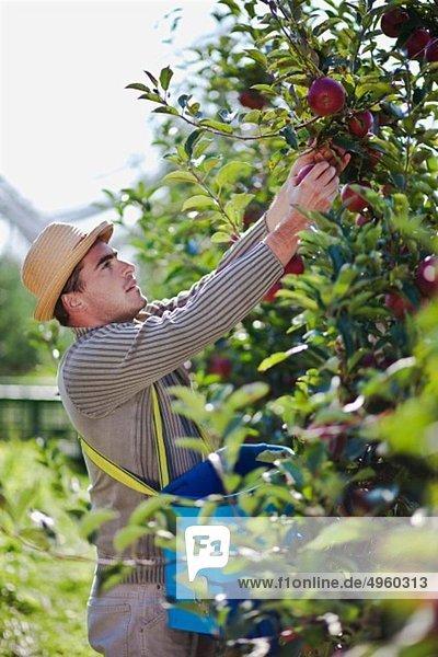 Kroatien  Baranja  Junger Mann pflückt Äpfel aus einem Apfelgarten
