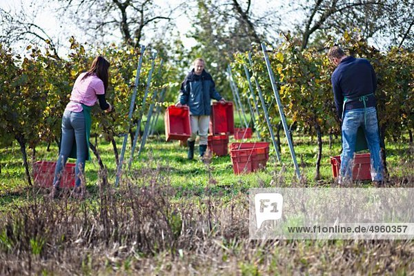 Kroatien  Baranja  Männer und Frauen  die im Apfelgarten arbeiten