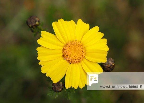 Spanien  Mallorca  Girlande Chrysantheme  Nahaufnahme