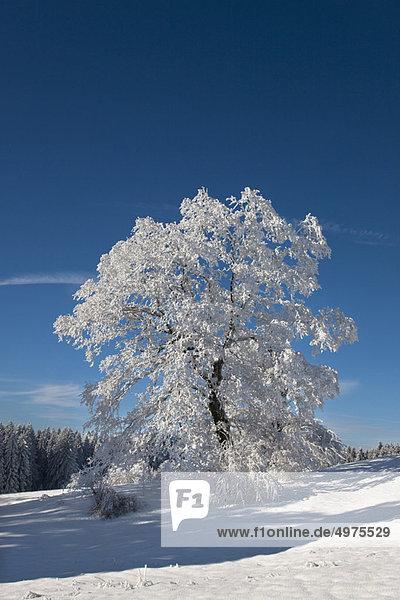 Winter  Baum  Landschaft  weiß  Kälte