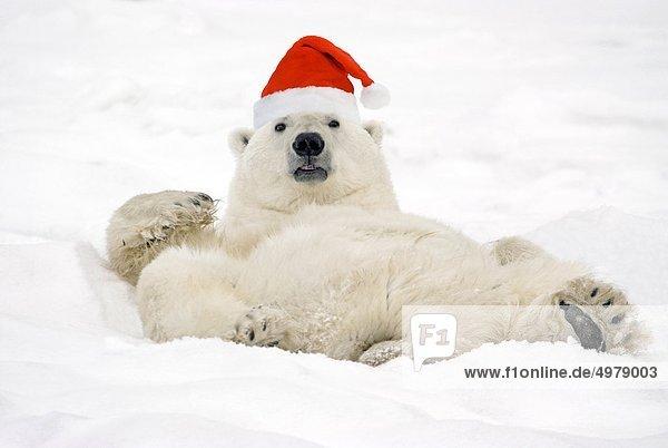 Eisbär Ursus maritimus liegend liegen liegt liegendes liegender liegende daliegen Hut Kleidung Kanada Composite Manitoba Schnee