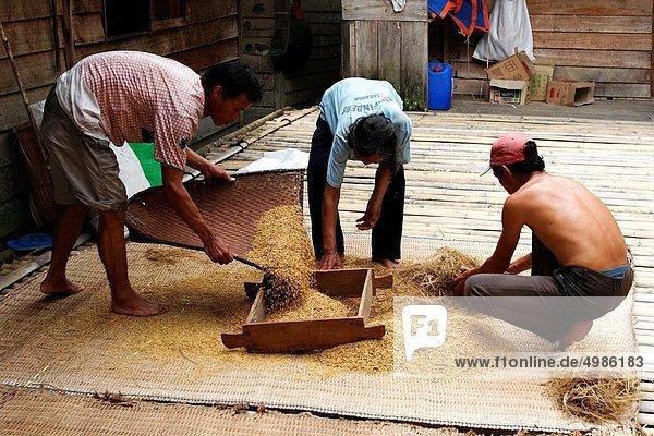 einsteigen  Freiheit  Pflanze  Reis  Reiskorn  Borneo  Sarawak