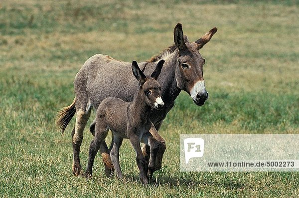 GREY DONKEY  A FRENCH BREED  MARE WITH FOAL TROTTING THROUGH MEADOW