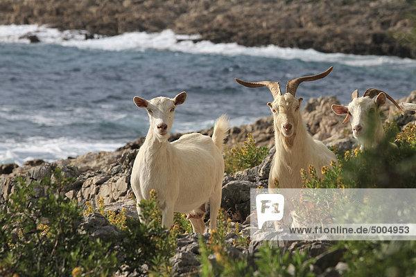 Three goats  Mali Losinj  Losinj  Croatia