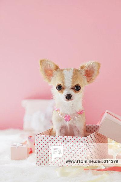 Langhaarige Chihuahua Langhaarige Chihuahua