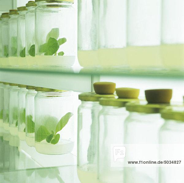 Gläser mit Setzlingen im Labor