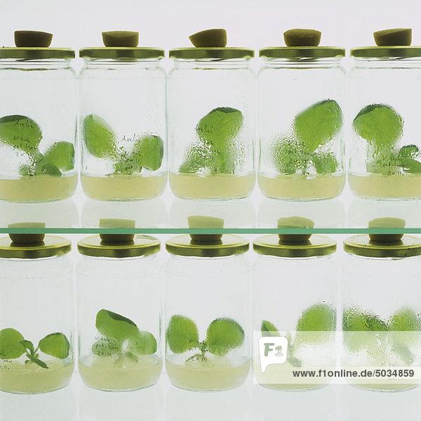 Setzlinge in Gläsern im Labor
