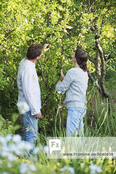 Reife Paare pflücken Früchte im Garten