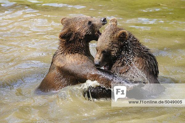 Junge Braunbären (Ursus arctos) im Wasser  Nationalpark Bayerischer Wald  Deutschland