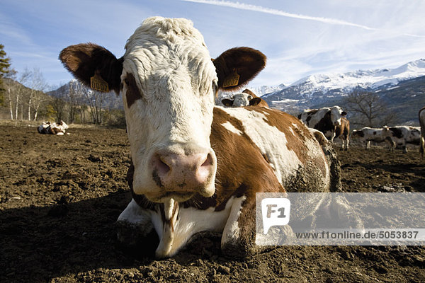 Cow lying down  mountains in background