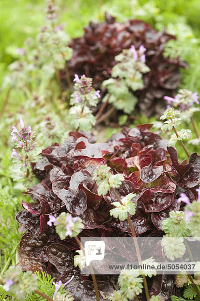 Roter Eichblattsalat im Ackerbau