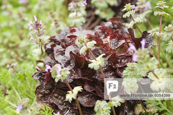 Merlot-Salat und Kräuteranbau