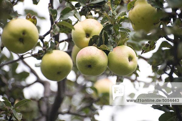 Äpfel  die auf einem Baum wachsen
