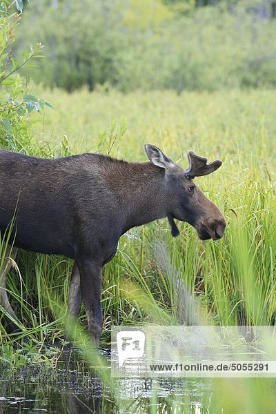 Yong Bull Moose im Sumpf  Smithers  British Columbia