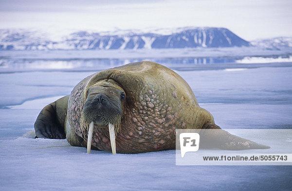 Atlantik walrus(es) (Odobenus Rosmarus Rosmarus) auf dem Packeis  Spitzbergen  arktische Norwegen Nichtstun