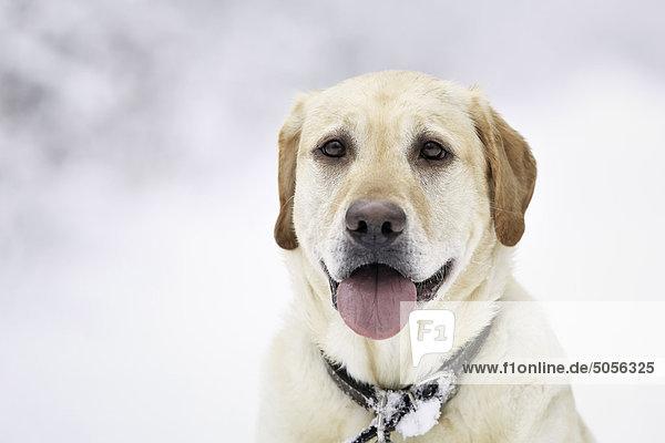 Portrait Winter Tag gelb Schnee Labrador Retriever Kanada Manitoba Winnipeg
