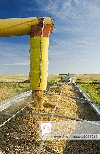 Weizen ist in einer Korn-LKW während der Ernte  in der Nähe von Lorette  Manitoba  Kanada augured Weizen ist in einer Korn-LKW während der Ernte, in der Nähe von Lorette, Manitoba, Kanada augured