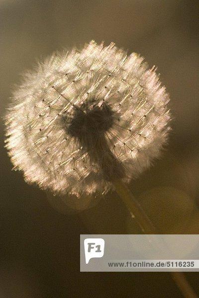 Vor der Sonne Blume