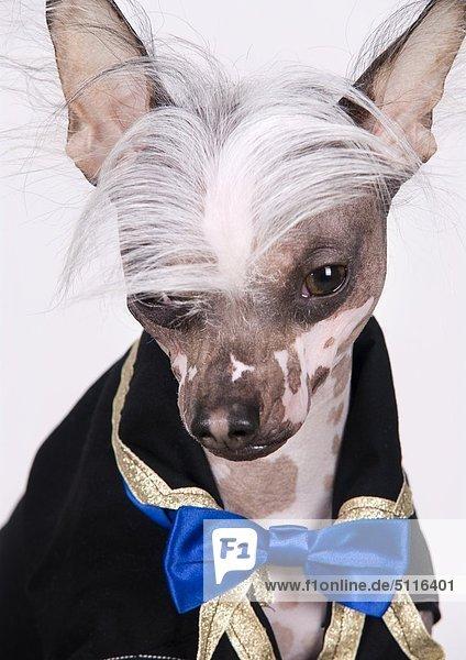 Ein Chinesischer Schopfhund mit Kleidung und eine lustige Frisur