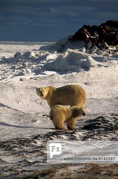 Kanada  Manitoba  Churchill  Eisbär (Ursus Maritimus  Thalassarctos Maritimus)