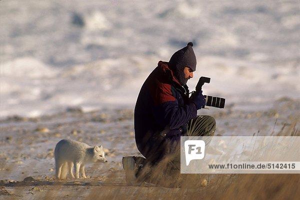 Kanada  Manitoba  polar Fox (Alopex Lagopus)