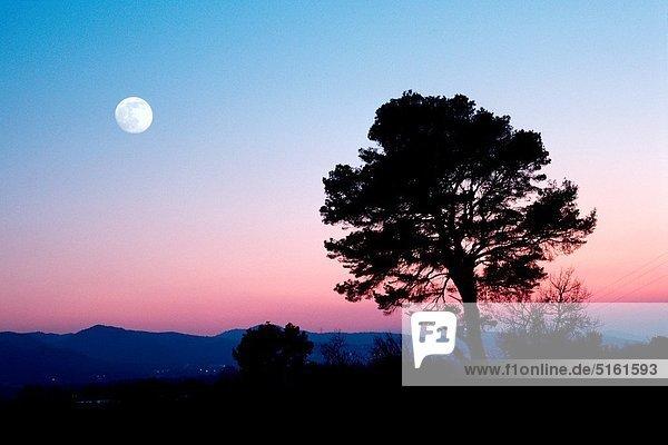 Baum , Mond , Kiefer,  Pinus sylvestris,  Kiefern,  Föhren,  Pinie , Abenddämmerung , voll