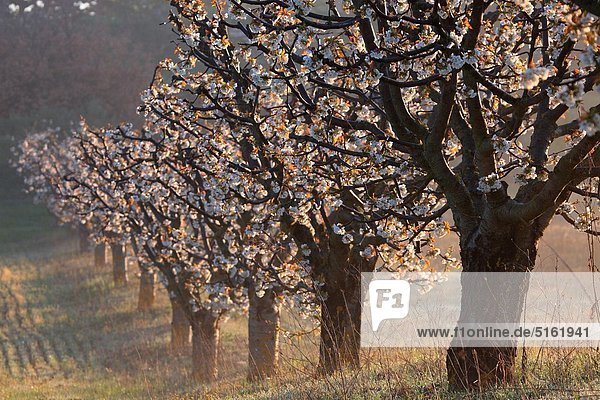 Blossom tree in spring time  Vaucluse  84  Luberon  PACA  France  Europe