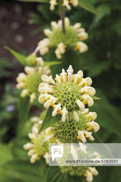 Deutschland  Nahaufnahme der Phlomis russeliana Blume