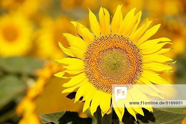 nahe , Wohngebäude , Feld , Sonnenblume,  helianthus annuus , Spanien