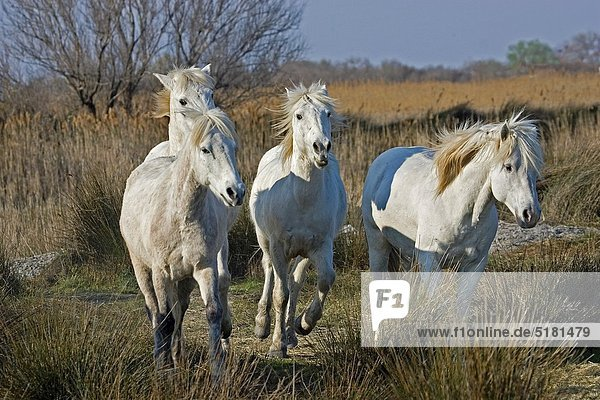 Camargue Horse  Herd standing in Swamp  Saintes Marie de la Mer in Camargue  in the South of France