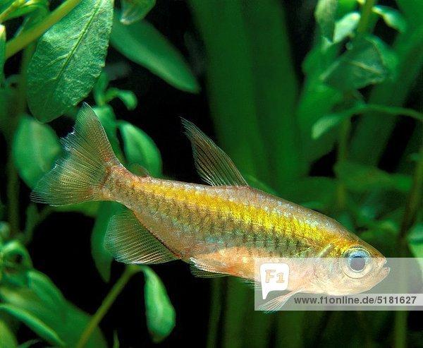 Congo Tetra  phenacogrammus interruptus  Aquarium Fish
