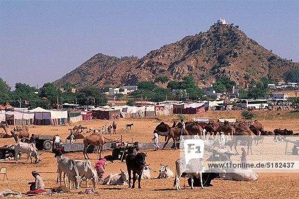 Mensch  Menschen  Rind  Kamel  Kamelmarkt  Indien  Pushkar  Rajasthan
