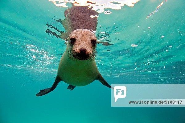 Seelöwe zwischen inmitten mitten Lebensmittel Fest festlich Unterwasseraufnahme Insel jung Material Inselgruppe Bevölkerungsgruppe Information Galapagosinseln 20 Ecuador